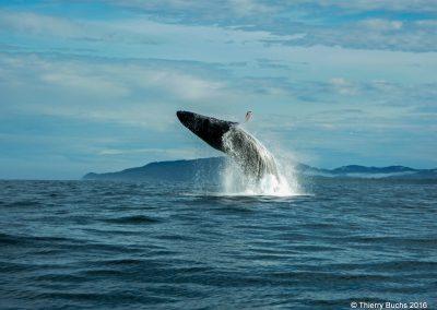 Colombia, Bahia Solano, ballena jorobada