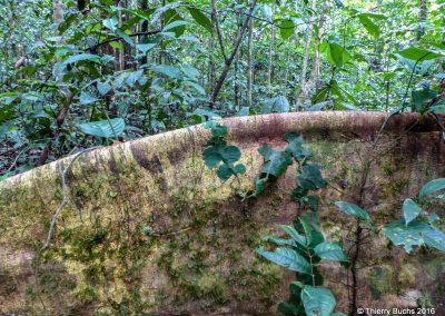BRASIL, Rio Javari, Amazonia, 2012