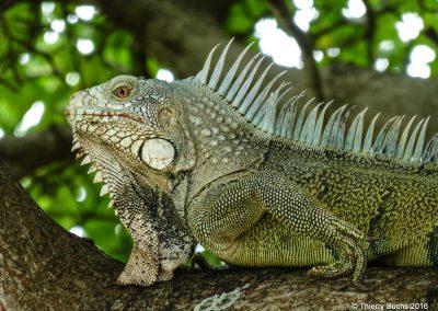 Curaçao, Iguana