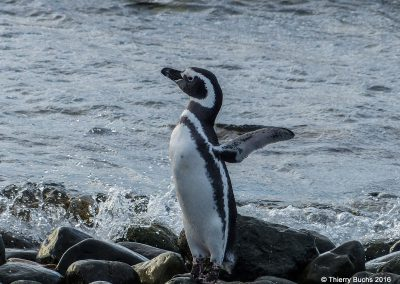Chile, Isla Marta, Pinguin