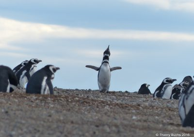 Chile, Isla Marta, Pinguinos