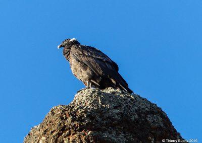 Chile, Torres del Paine, Condor
