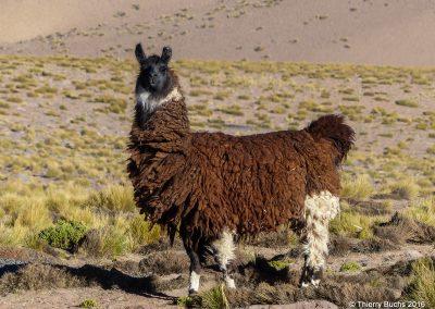 Chile, Altiplano, llama
