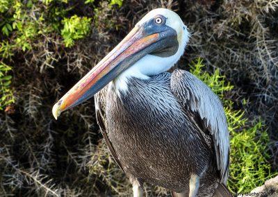Galápagos, Puerto Ahora, Pelicano