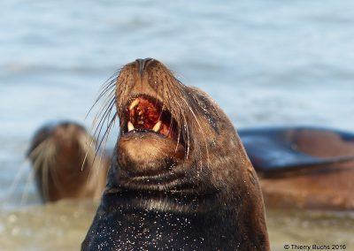 Galapagos, Isla Plaza, león marino