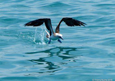 Galapagos, Isla Isabela, Pata Azul