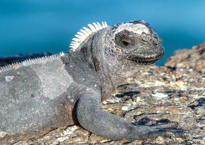 Galapagos, Isla Isabela, Iguana
