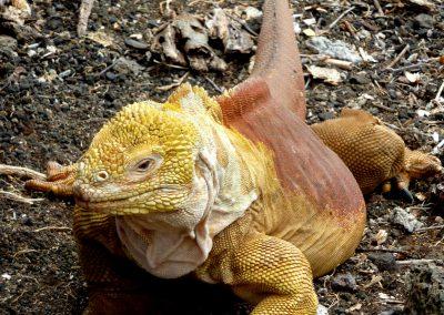 Galapagos, Isla Plaza, Iguana amarilla