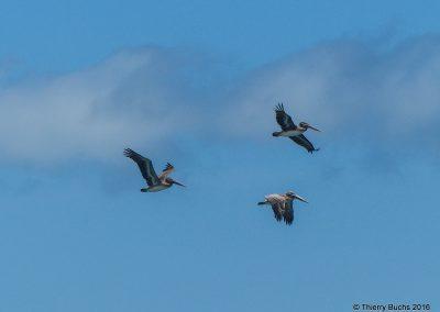 Colombia, Nuquí, Pelicanos