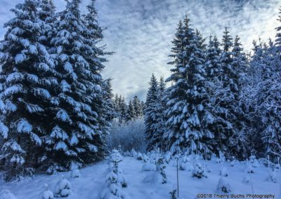Winter pine trees Fribourg