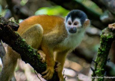 Mono titi. Costa Rica
