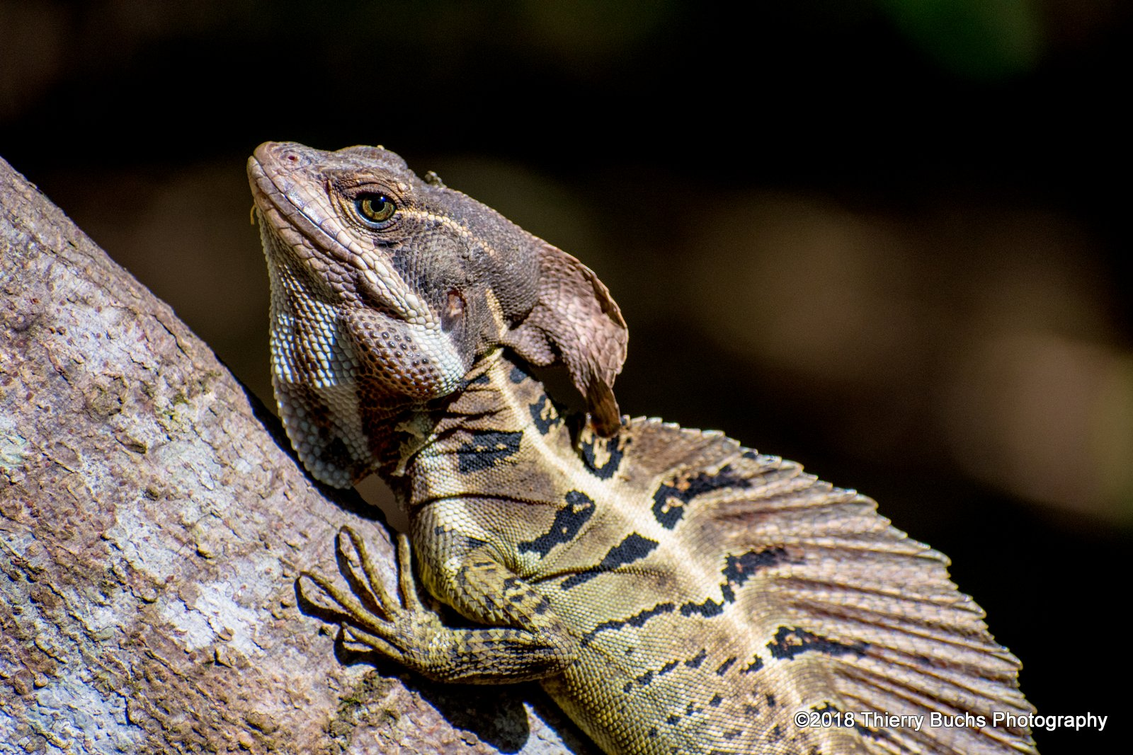 Lagarto Basilisco, Costa Rica