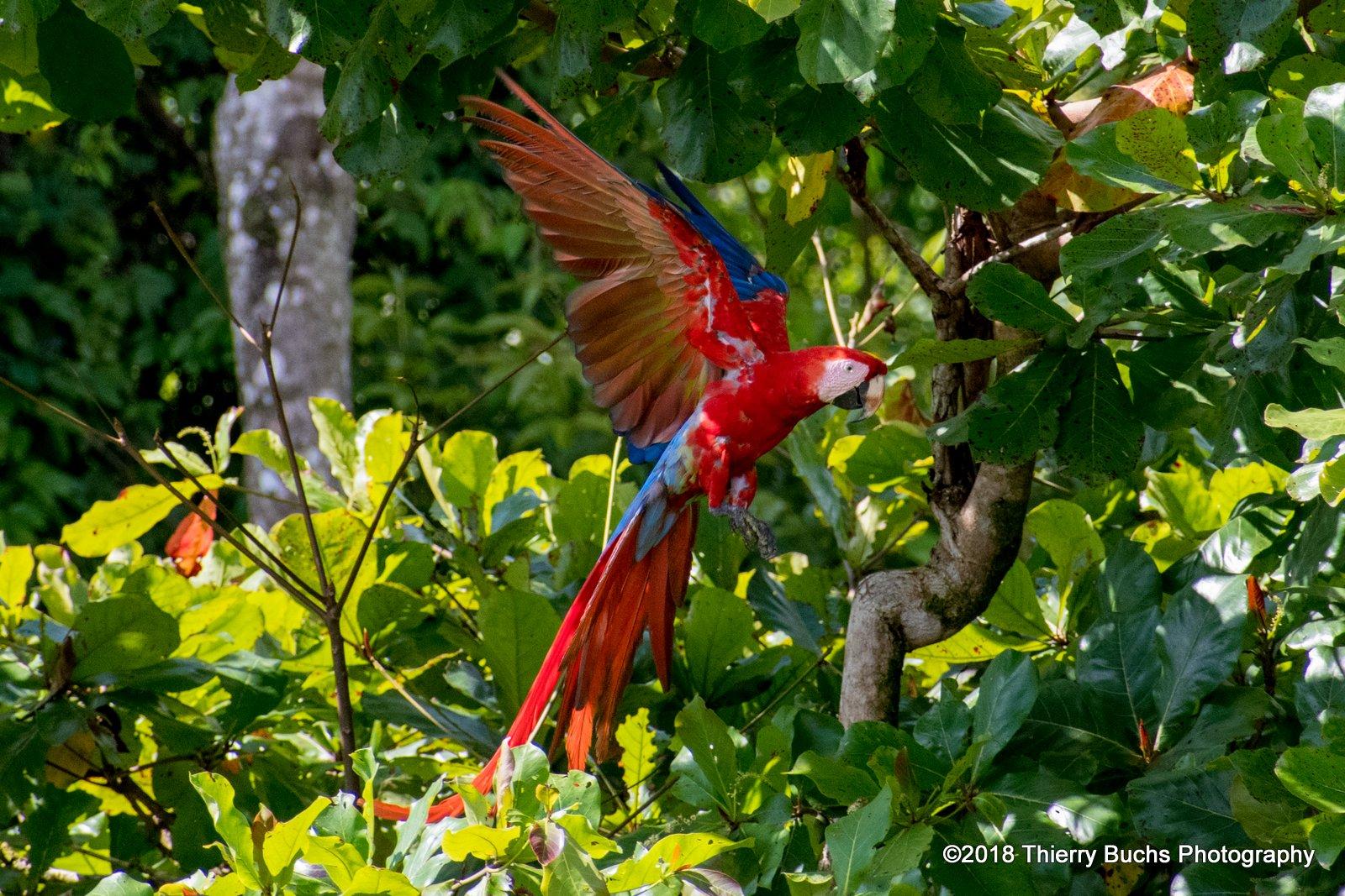 Ara, Costa Rica