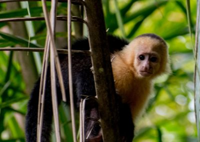 Mono Cara Blanca, Cosra Rica