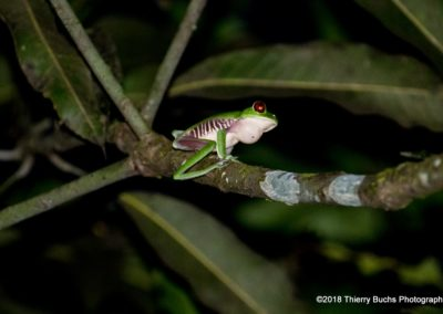 Rana, Costa Rica